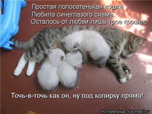 Котоматрица: Простая полосатенькая кошка Любила синеглазого сиама. Осталось от любви лишь трое крошек, Точь-в-точь как он, ну под копирку прямо!