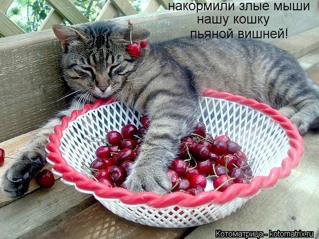 Котоматрица: нашу кошку пьяной вишней! накормили злые мыши