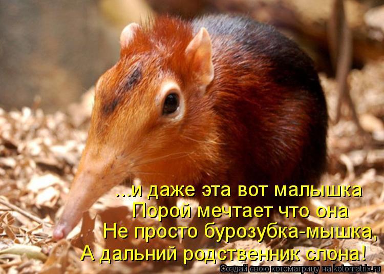 Котоматрица: ...и даже эта вот малышка  Порой мечтает что она  Не просто бурозубка-мышка, А дальний родственник слона!