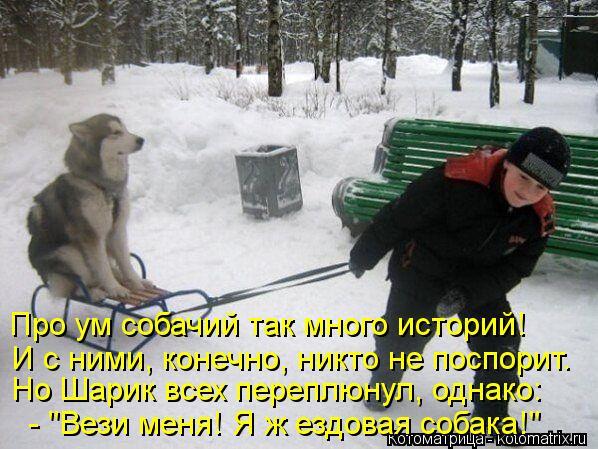 """Котоматрица: Про ум собачий так много историй!  И с ними, конечно, никто не поспорит.  Но Шарик всех переплюнул, однако:  - """"Вези меня! Я ж ездовая собака!"""""""