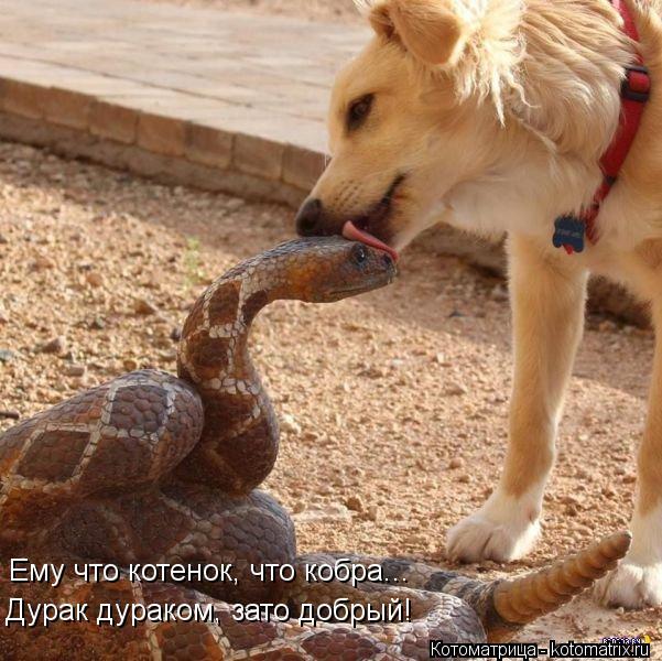 Котоматрица: Ему что котенок, что кобра... Дурак дураком, зато добрый!