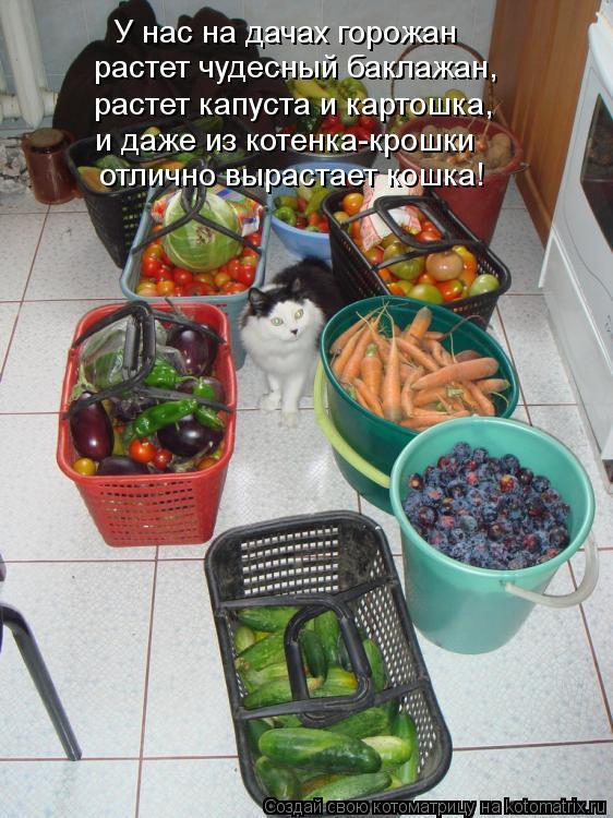 Котоматрица: растет чудесный баклажан, У нас на дачах горожан растет капуста и картошка, и даже из котенка-крошки отлично вырастает кошка!