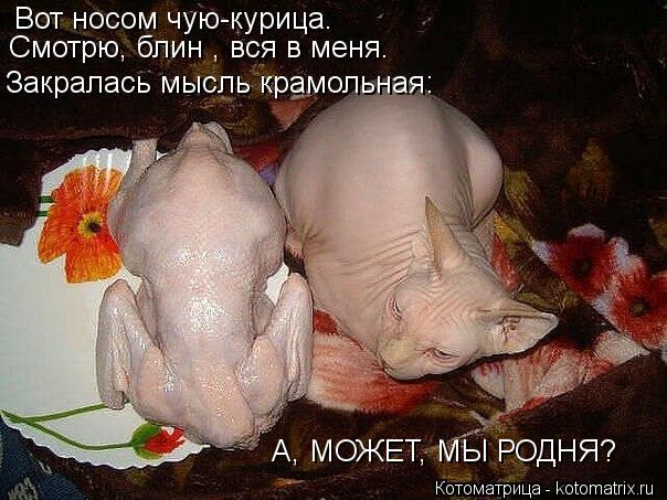 Котоматрица: Вот носом чую-курица. Смотрю, блин , вся в меня. Закралась мысль крамольная: А, МОЖЕТ, МЫ РОДНЯ?