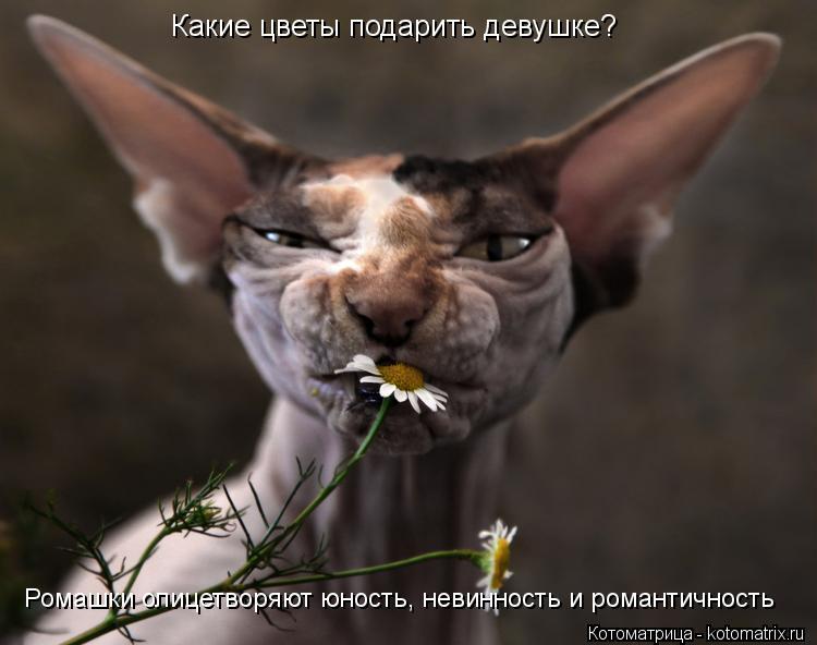 Котоматрица: Какие цветы подарить девушке? Ромашки олицетворяют юность, невинность и романтичность