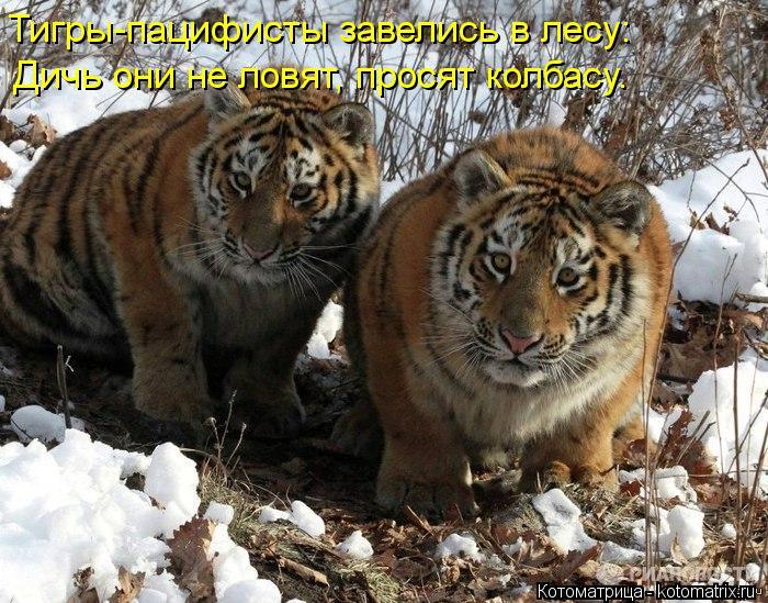 Котоматрица: Тигры-пацифисты завелись в лесу: Дичь они не ловят, просят колбасу.