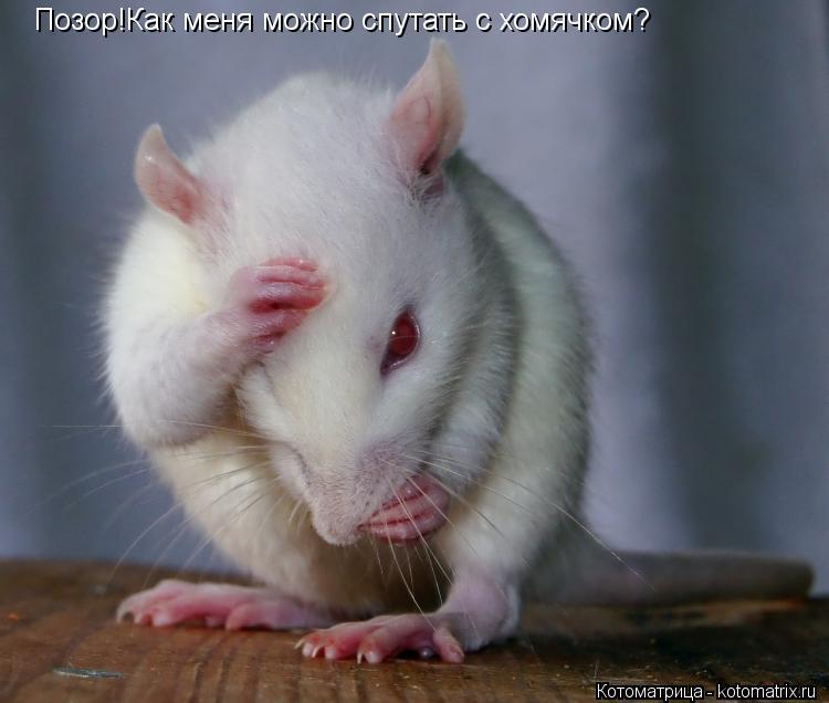 Котоматрица: Позор!Как меня можно спутать с хомячком?