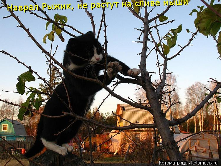 Котоматрица: Наврал Рыжик, не растут на сливе мыши