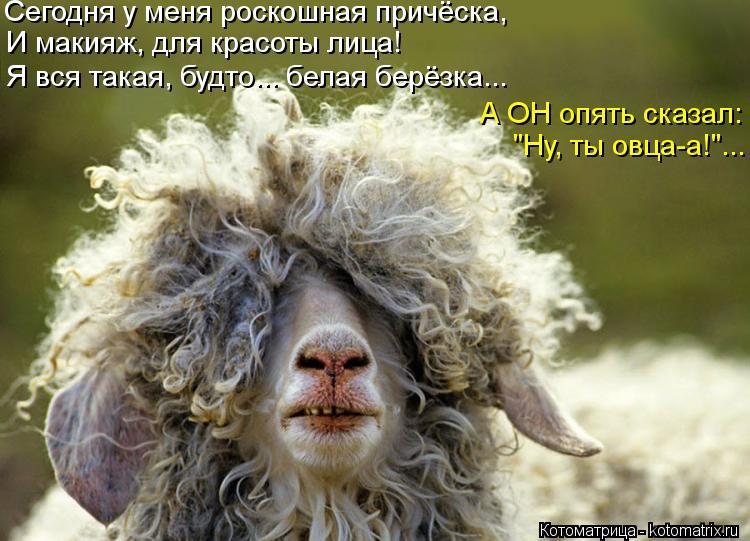 """Котоматрица: Сегодня у меня роскошная причёска, И макияж, для красоты лица! А ОН опять сказал: """"Ну, ты овца-а!""""... Я вся такая, будто... белая берёзка..."""