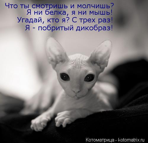 Котоматрица: Что ты смотришь и молчишь? Угадай, кто я? С трех раз! Я - побритый дикобраз! Я ни белка, я ни мышь!