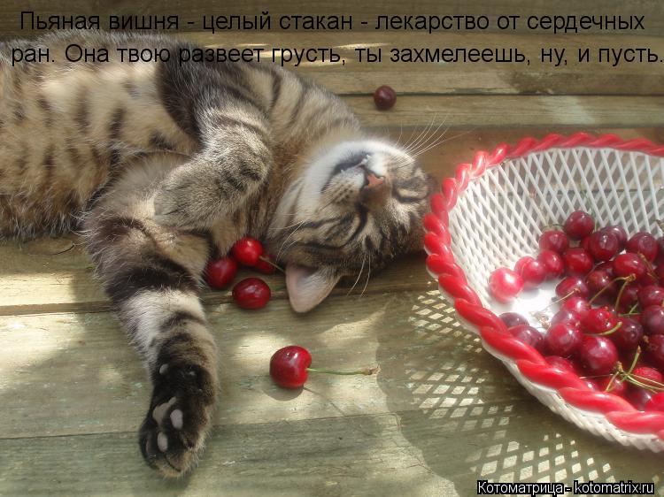 Котоматрица: Пьяная вишня - целый стакан - лекарство от сердечных  ран. Она твою развеет грусть, ты захмелеешь, ну, и пусть.