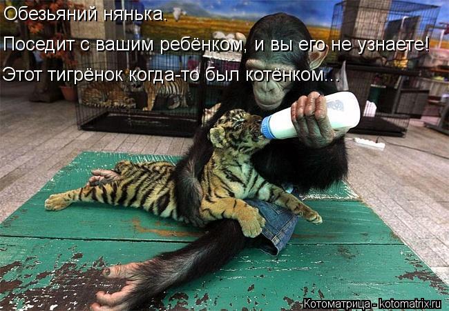 Котоматрица: Обезьяний нянька. Поседит с вашим ребёнком, и вы его не узнаете! Этот тигрёнок когда-то был котёнком...