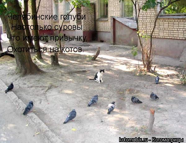 Котоматрица: Челябинские голуби  Настолько суровы Что имеют привычку, Охотиться на котов.