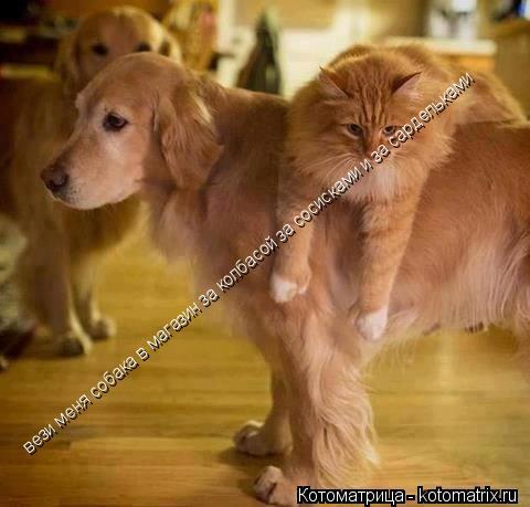 Котоматрица: вези меня собака в магазин за колбасой за сосисками и за сардельками