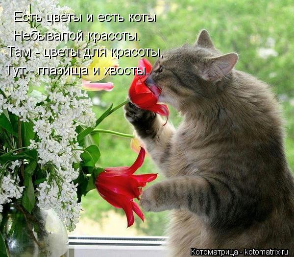 Котоматрица: Есть цветы и есть коты Небывалой красоты. Там - цветы для красоты, Тут - глазища и хвосты.