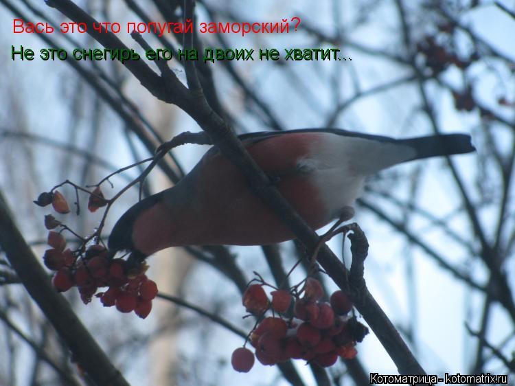 Котоматрица: Вась это что попугай заморский ? Не это снегирь его на двоих не хватит...