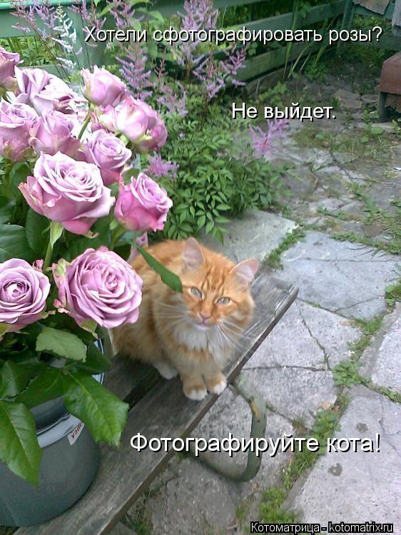 Котоматрица: Хотели сфотографировать розы? Не выйдет. Фотографируйте кота!