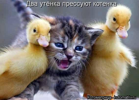 Котоматрица: Два утёнка прессуют котенка