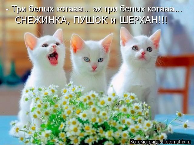 Котоматрица: - Три белых котааа... эх три белых котааа... СНЕЖИНКА, ПУШОК и ШЕРХАН!!!