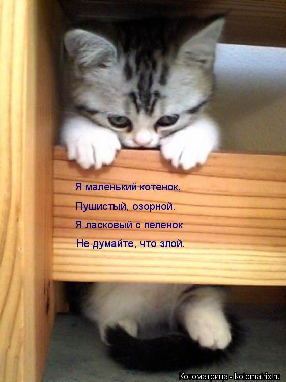 Котоматрица: Я маленький котенок, Пушистый, озорной. Я ласковый с пеленок Не думайте, что злой.