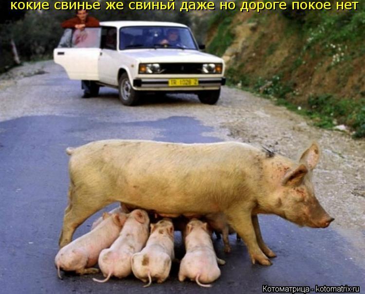 Котоматрица: кокие свинье же свиньй даже но дороге покое нет