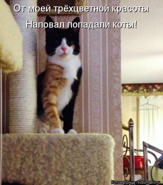 Котоматрица: От моей трёхцветной красоты Наповал попадали коты!