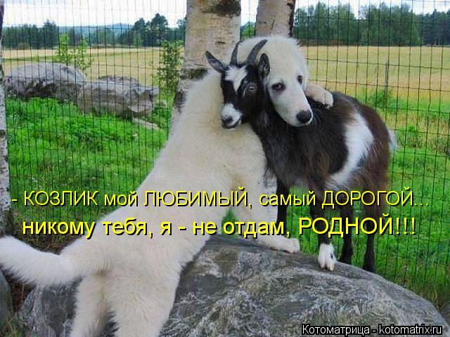 Котоматрица: - КОЗЛИК мой ЛЮБИМЫЙ, самый ДОРОГОЙ... никому тебя, я - не отдам, РОДНОЙ!!!