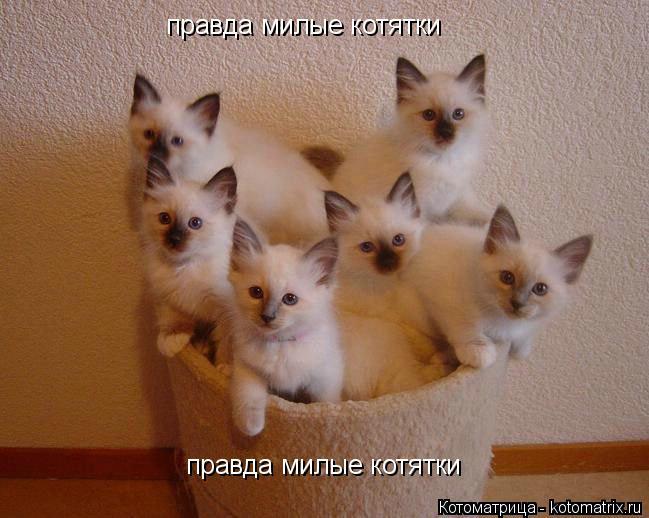 Котоматрица: правда милые котятки правда милые котятки