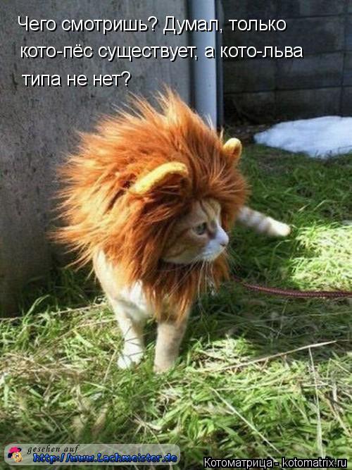 Котоматрица: Чего смотришь? Думал, только кото-пёс существует, а кото-льва типа не нет?