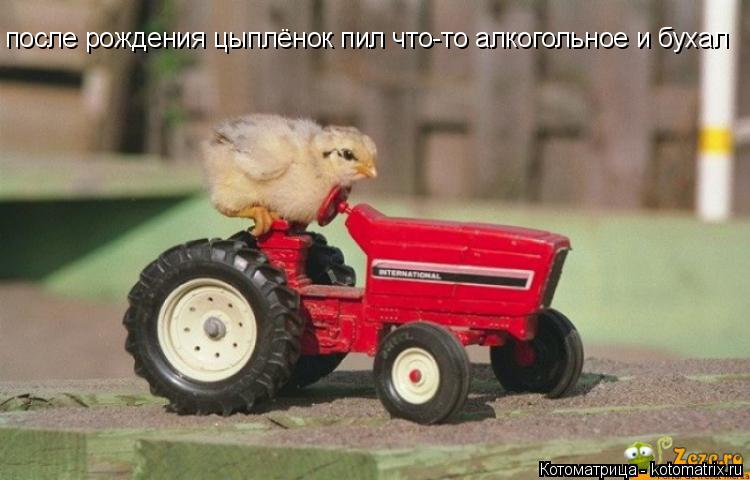 Котоматрица: после рождения цыплёнок пил что-то алкогольное и бухал