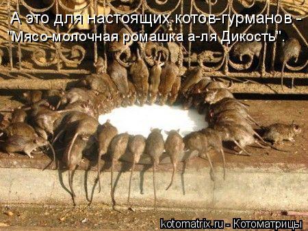 """Котоматрица: А это для настоящих котов-гурманов -  """"Мясо-молочная ромашка а-ля Дикость""""."""