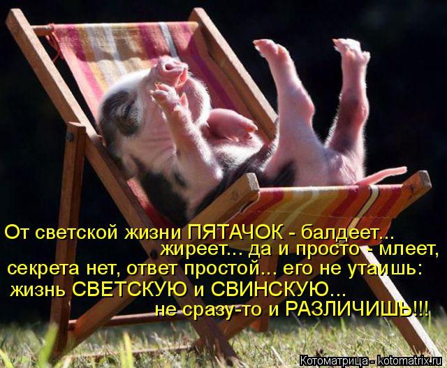 Котоматрица: От светской жизни ПЯТАЧОК - балдеет... жиреет... да и просто - млеет,  секрета нет, ответ простой... его не утаишь: жизнь СВЕТСКУЮ и СВИНСКУЮ... не