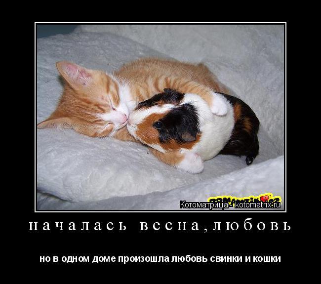Котоматрица: началась весна,любовь но в одном доме произошла любовь свинки и кошки