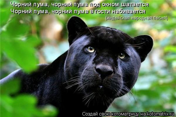 Котоматрица: Чорний пума, чорний пума под окном шатается Чорний пума, чорний пума в гости набивается (индейская народная песня)
