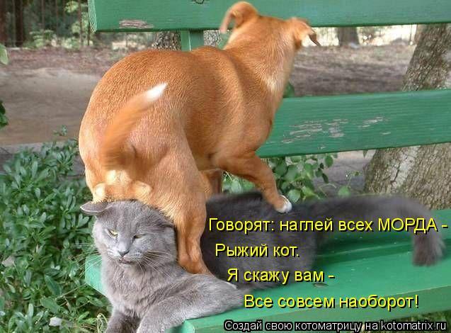 Котоматрица: Говорят: наглей всех МОРДА - Рыжий кот. Я скажу вам - Все совсем наоборот!