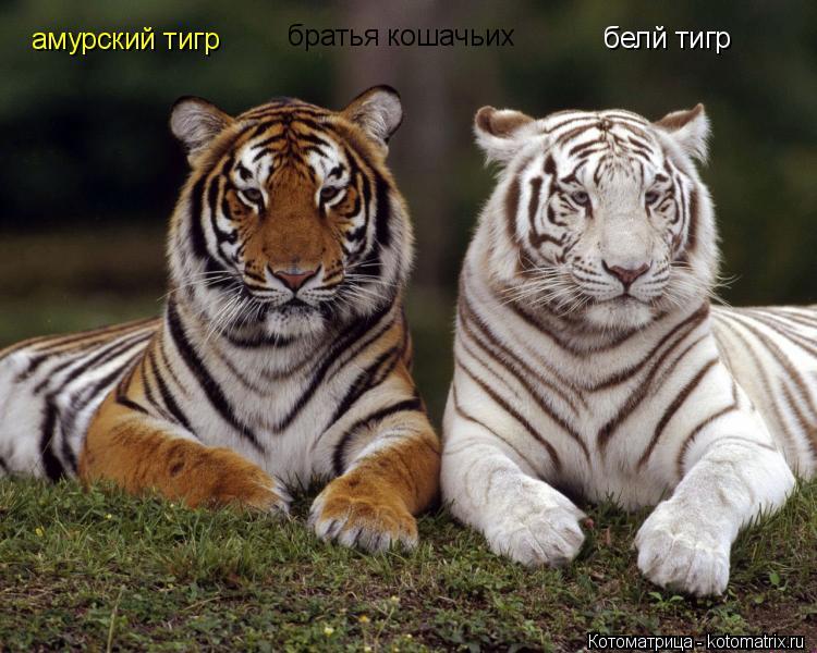 Котоматрица: белй тигр амурский тигр братья кошачьих