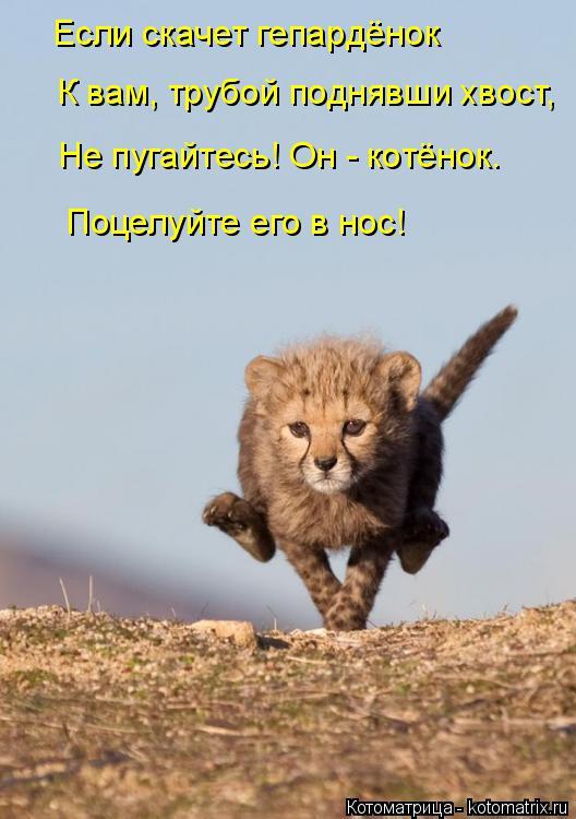 Котоматрица: Если скачет гепардёнок К вам, трубой поднявши хвост, Не пугайтесь! Он - котёнок. Поцелуйте его в нос!