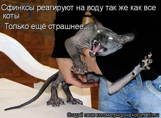 Котоматрица: Сфинксы реагируют на воду так же как все коты Только ещё страшнее...