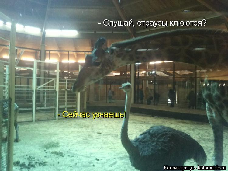 Котоматрица: - Слушай, страусы клюются? - Сейчас узнаешь!