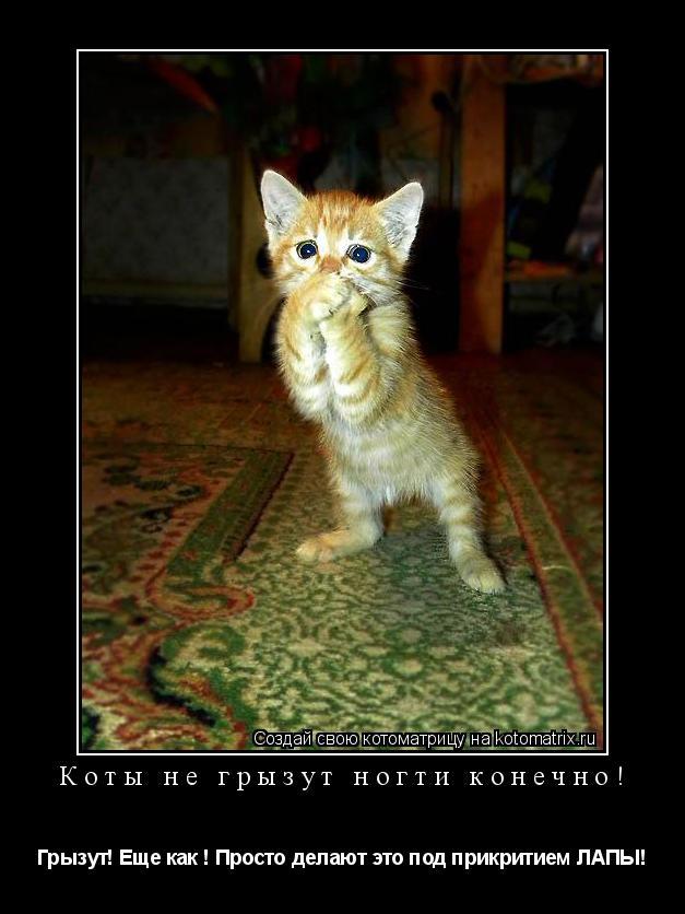 Котоматрица: Коты не грызут ногти конечно! Грызут! Еще как ! Просто делают это под прикритием ЛАПЫ!