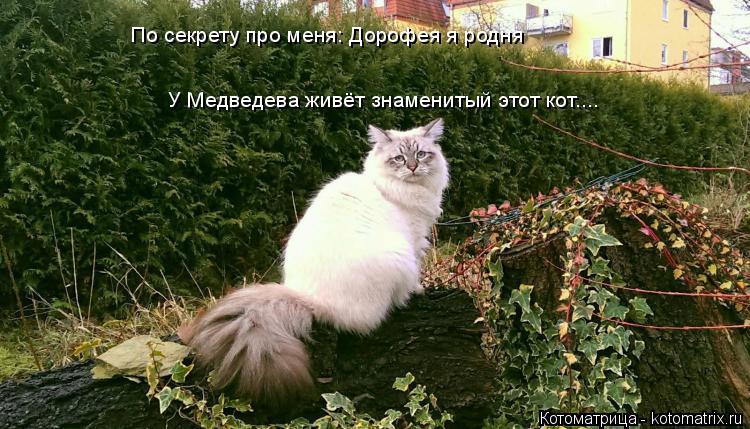 Котоматрица: По секрету про меня: Дорофея я родня У Медведева живёт знаменитый этот кот....