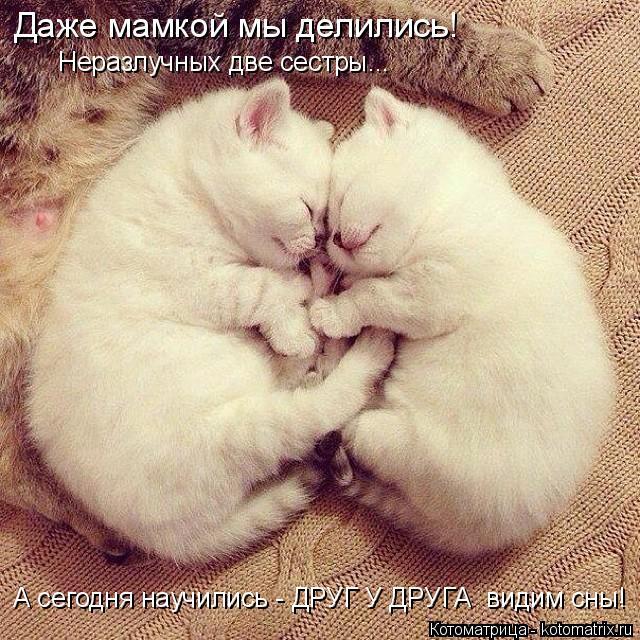 Котоматрица: Неразлучных две сестры... А сегодня научились - ДРУГ У ДРУГА  видим сны! Даже мамкой мы делились!