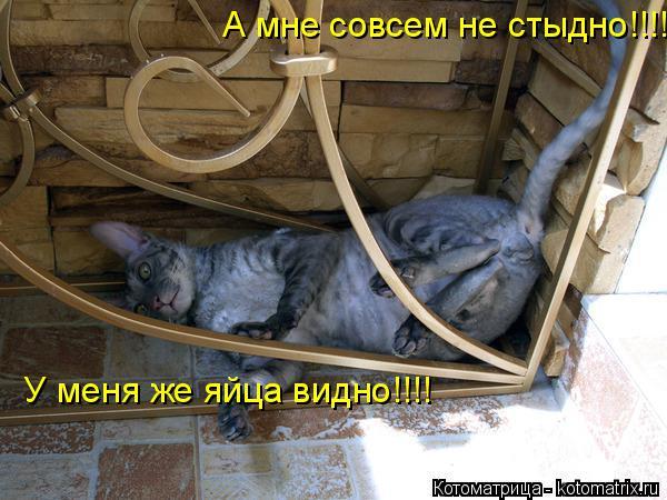 Котоматрица: А мне совсем не стыдно!!!!  У меня же яйца видно!!!!  У меня же яйца видно!!!!