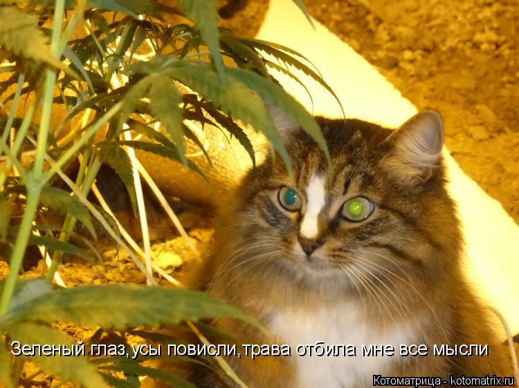Котоматрица: Зеленый глаз,усы повисли,трава отбила мне все мысли
