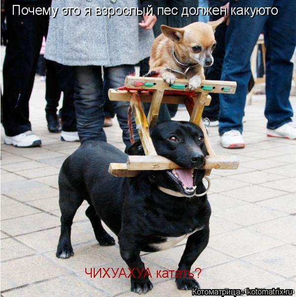 Котоматрица: Почему это я взрослый пес должен какуюто ЧИХУАХУА катать?