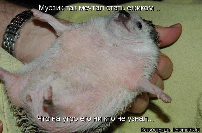Котоматрица: Мурзик так мечтал стать ежиком... Что на утро его ни кто не узнал...