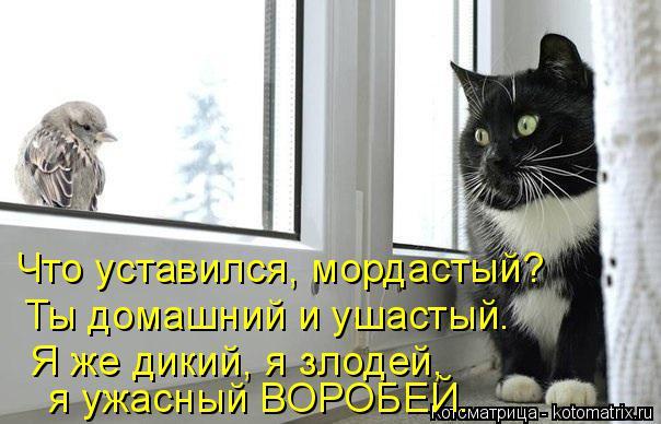 Котоматрица: Что уставился, мордастый?   Ты домашний и ушастый. Я же дикий, я злодей,   я ужасный ВОРОБЕЙ.