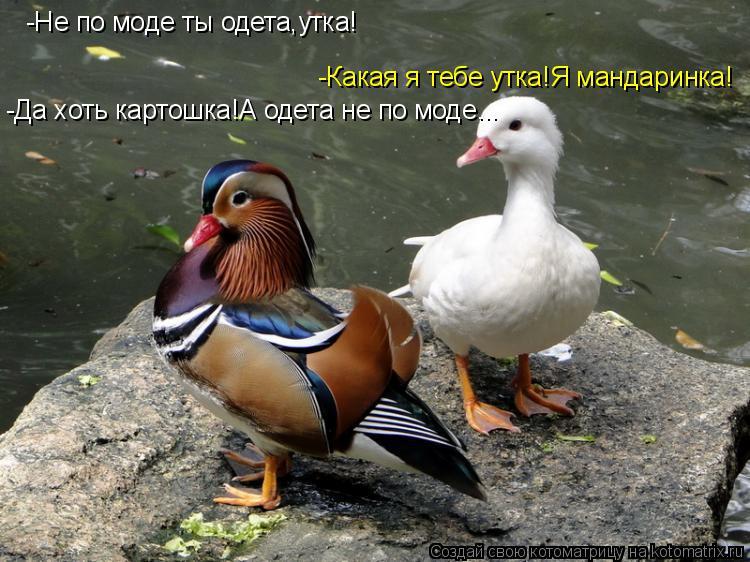 Котоматрица: -Не по моде ты одета,утка! -Какая я тебе утка!Я мандаринка! -Да хоть картошка!А одета не по моде...