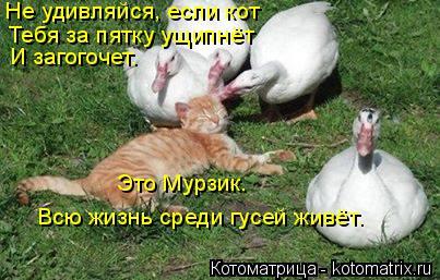 Котоматрица: Не удивляйся, если кот Тебя за пятку ущипнёт И загогочет. Это Мурзик. Всю жизнь среди гусей живёт.