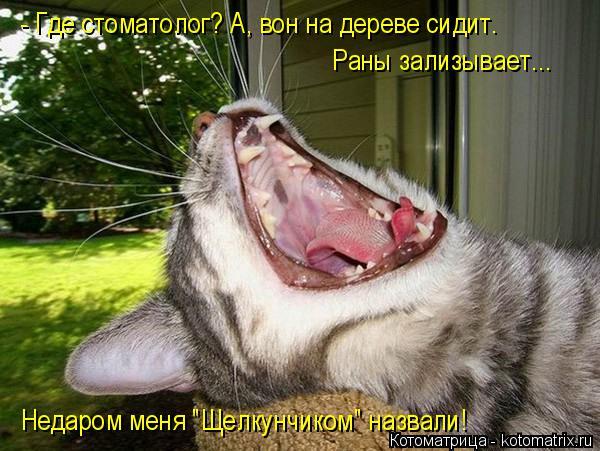 """Котоматрица: - Где стоматолог? А, вон на дереве сидит. Раны зализывает... Недаром меня """"Щелкунчиком"""" назвали!"""
