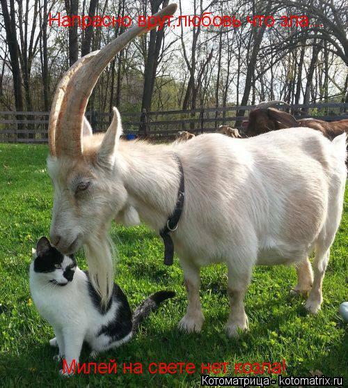 Котоматрица: Напрасно врут,любовь что зла... Милей на свете нет козла!
